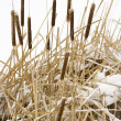 Cattail plants in snow. — Stock Photo #9214906