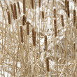 Cattail plants in snow. - Stock Photo