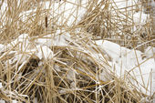 Cattail plants in snow. — Stock Photo