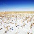 Snow covered corn field. — Stock Photo