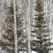 Evergreen tree  forest. - Stock Photo
