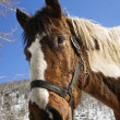 Stock Photo: Horse Wearing Halter