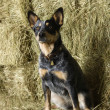 Australian Shepherd on a Hay Bale - Stock Photo