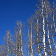 Stock Photo: Aspen trees.