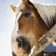 Draft horse. — Stock Photo