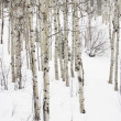 Stock Photo: Aspen trees in winter.
