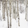 Aspen trees in winter. — Stock Photo