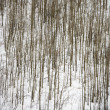 Stock Photo: Bare trees in snow.
