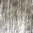 Bare trees in snow. - Stock Photo
