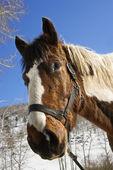 Horse Wearing Halter — Stock Photo