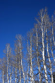 Aspen trees. — Stock Photo