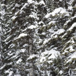 Snow covered trees. — Foto de Stock