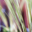 Decorative grass. — Foto de Stock