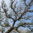 Live oak tree. — Stock Photo