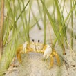 Ghost crab on beach. — Stock Photo #9277104
