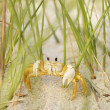 Stock Photo: Ghost crab on beach.