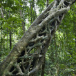 Strangler vine in forest. - Foto Stock
