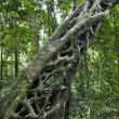 Постер, плакат: Strangler vine in forest
