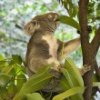 Koala in tree. - Stock Photo