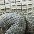 Stock Photo: Crocodile skin.