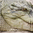 Royalty-Free Stock Photo: Crocodile head.