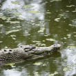 Crocodile swimming. — Stock Photo #9279377