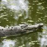 Swimming crocodile. — Stock Photo #9279381