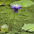 Water lily. — Stock Photo