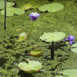 Water lilies. — Stock Photo