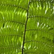 Fern leaves. - 