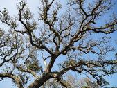 Live oak tree. — Stock Photo