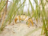 Ghost crab on beach. — Stock Photo