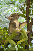 Koala in tree. — Stock Photo