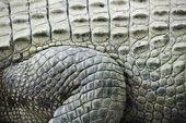 Crocodile skin. — Stock Photo