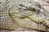 Crocodile head. — Stockfoto