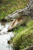 Crocodile opening mouth. — Stock Photo