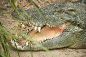 Голова крокодила. — Стоковое фото