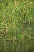 Grasses by water. — Stock Photo