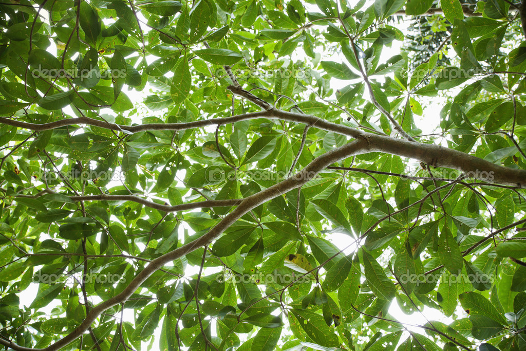 Low angle view of tree with backlit leaves in Daintree Rainforest, Australia. — Stock Photo #9279250