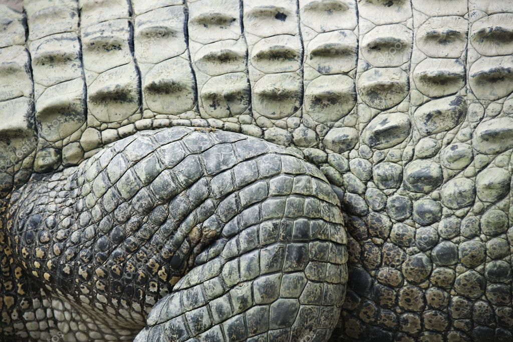 Close up of side of crocodile showing scaly skin, Australia. — Stock Photo #9279368