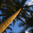 Stock Photo: Low angle palm tree.
