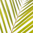 Palm frond. — Stock Photo #9280852