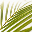 Palm frond on white. — Stock Photo