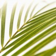 Palm frond on white. - Stock Photo