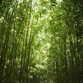 Las bambusowy. — Zdjęcie stockowe