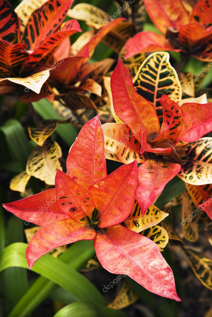 Brightly multicolored leaves of croton plant.  Stock Photo #9280533