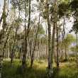 Stock Photo: Aspen tree forest.