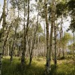 Aspen tree forest. - Stock Photo