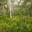 Stock Photo: Aspen trees in forest.