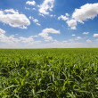 Green Cornfield and Blue Sky - Stock Photo